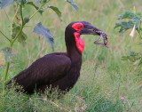 Quite a catch! This Ground Hornbill has a snake AND a frog!