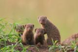 Young mongooses (mongeese?)