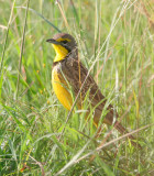 Yellow Breasted Longclaw