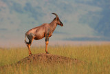 Typical Topi (or Tsessebe) standing on a termite mound surveying the savannah for predators.