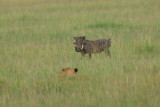 silly warthog that almost walked into him.  Finally saw the lion and ran away. I though we might see a kill.