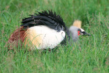 Crested Crane searching for bugs.