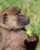 Baboon eating fruit.