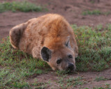 Hyena in the early morning, trying to stay warm.