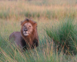 Lion in the early morning. His mane is still wet with dew.