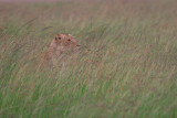 Lioness in the tall grass on a rainy afternoon.