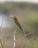 white throated bee-eater (I think)