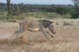 Grevy's zebra kicking up his heels.  Joy's Camp, Shaba Nat'l Reserve, Kenya