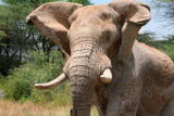 This elephant was chasing us and his ears and trunk were flapping as he ran.