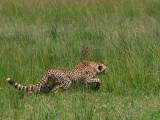 Cheetah stalking a warthog in the Mara (one of Honey's cubs.)