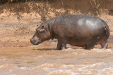Hippos usually feed out of the water in the evening, night and early morning.  This one left the water much later in the day.