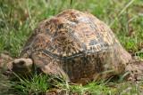 Leopard tortoise?