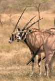 Oryx. It's hard to see how long their horns really are unless you see them from the side.