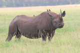 Black Rhino (my first) Saw this on the way from the airstrip to the camp.