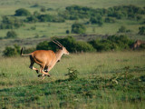 The eland is the world's largest antelope (600 - 2200 lbs).  They are very shy and run away if you try to get close.