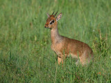 Dik-diks form monogamous relationships.  The males have horns. Females are larger than males.
