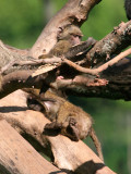 Busy baby baboons