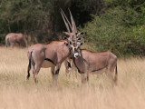 Oryx or Gemsbok .  They look funny all lined up like that.