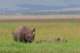 Mom black rhino with baby almost hidden in the grass.