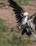 Fighting to keep his little fish.  (Another fish eagle is trying to get it. Too much lens to get it all.)