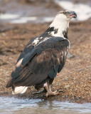 Fish Eagle with a fish in left hand.