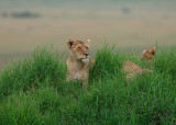A mom sits on a mound in the Mara and scans the area for their next meal while her cub sits behind her.