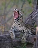 2442 Leopard yawning. Botswana mobile safari