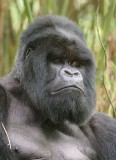 Such a handsome gorilla