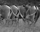 Grevy Zebra tails.