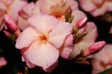 pink oleander 1