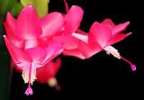 Xmas Cactus 02