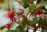 guava 08