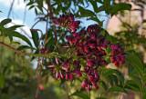 wisteria 15
