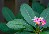 frangipani blossoms 03
