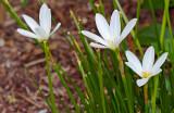 Zephyranthes mesochloa 02
