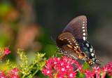spicebush swallowtail 39