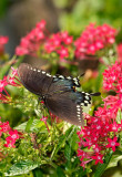 spicebush swallowtail 40