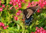 spicebush swallowtail 42