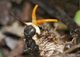 gold rim swallowtail caterpiller 03