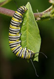 monarch caterpillar on lantana 01
