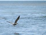 pelican in flight 02