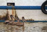 pelican trio 01