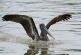 brown pelican 01