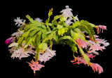 Xmas Cactus 06