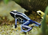 Dyeing Poison Frog 02
