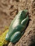 Mexican Dumpy Frog 01
