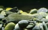 Surinam Toad 01