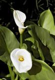 calla lily 05 rw