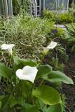 calla lily 09