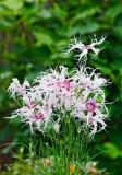 dianthus hybrid Spooky 02rw